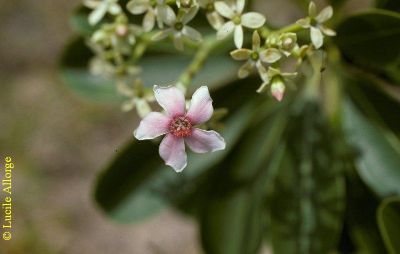 Apocynaceae, CERBERA MANGHAS L.