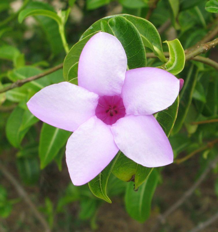 Apocynaceae-asclep., Cryptostegia madagascariensis
