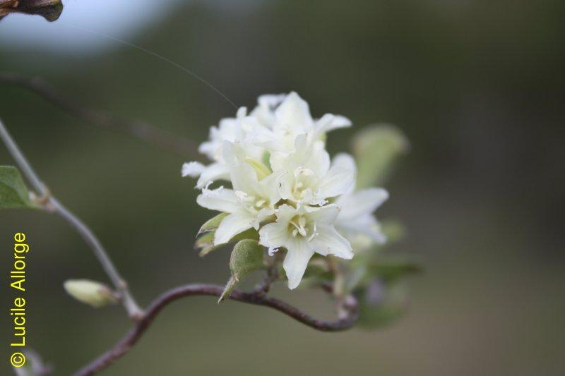 Convolvulaceae, Hildebrandtia valo