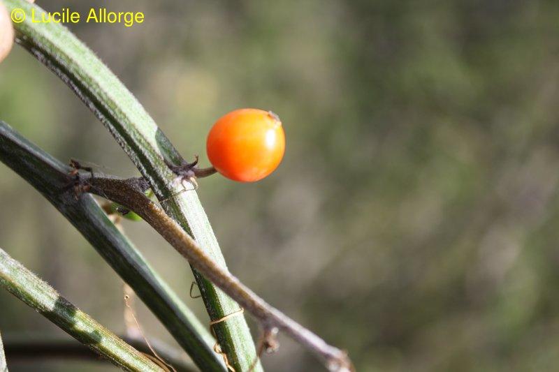 Cucurbitaceae, Seyrigia multiflora