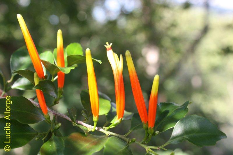 Loranthaceae, Bakerella