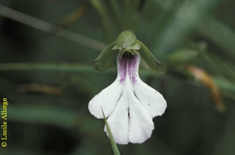 ORCHIDACEAE, CYNORKIS ANGUSTIPETALA Ridl.