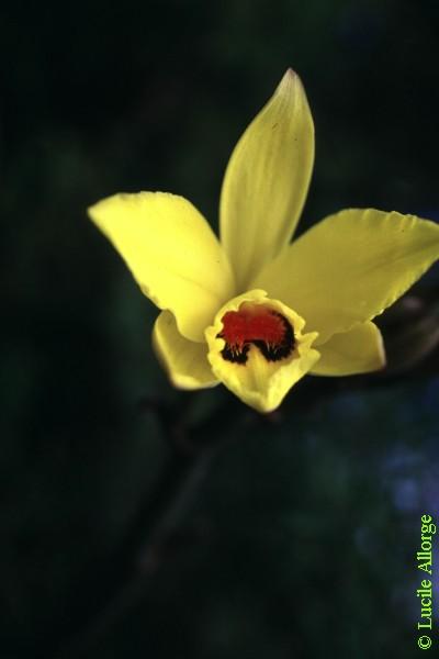 ORCHIDACEAE, VANILLA PERRIERI Schltr.