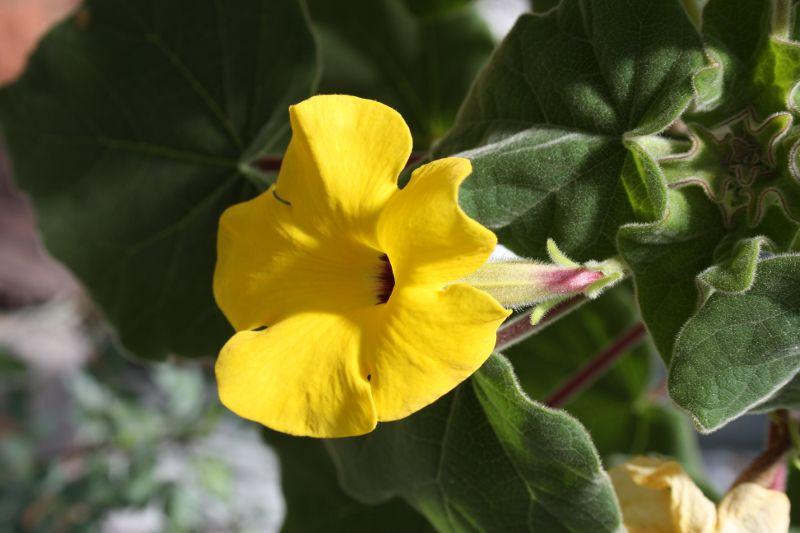 Pedaliaceae, Uncarina grandidieri