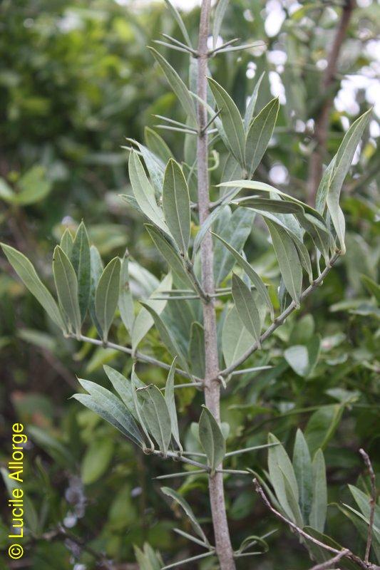 Salvadoraceae, Azima tetracantha