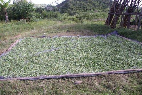Récolte de Talapetraka (Centella asiatica)