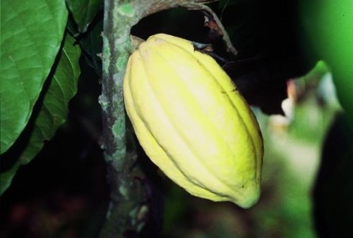 fruits du cacaoyer ou cabosses