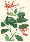 Cabucala erythrocarpa